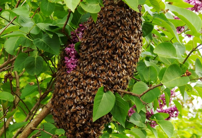 Bienen am Fliederbaum
